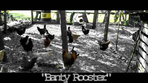 Banty Rooster, by Trent Holloway on OurStage