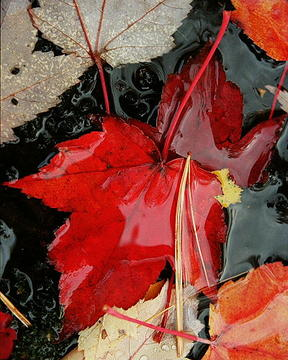 Red Leafs in Autumn, by Eric Tripper on OurStage
