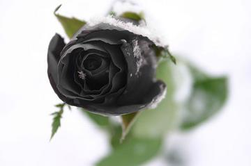 Black Rose, by SLiM PiCKENS on OurStage