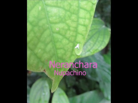Neranchara - Nupachino, by nupachino on OurStage