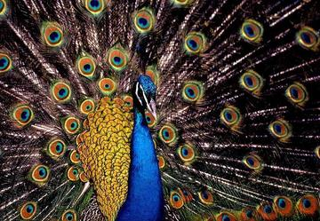 New Strut for the Peacock, by Robert Siekawitch/Shag Stevens on OurStage