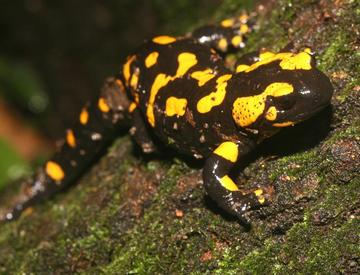 Salamander, by Eric Tripper on OurStage